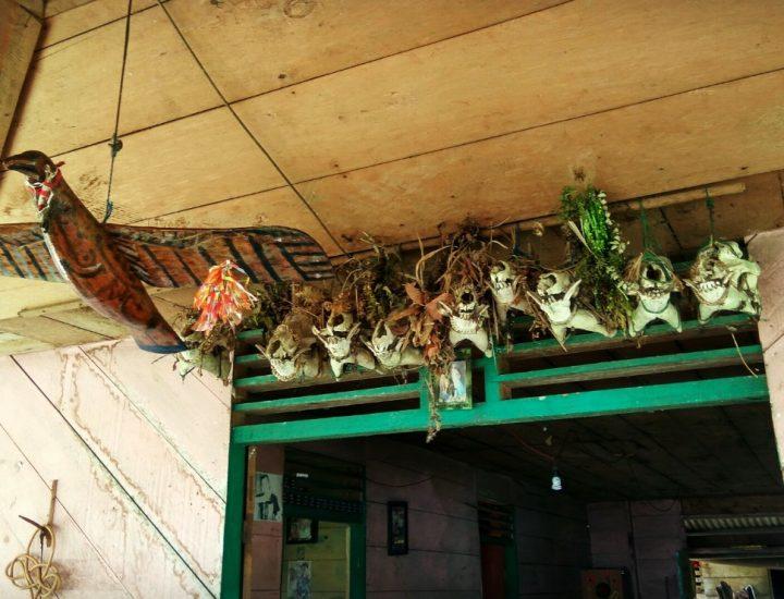 Tengkorak babi hutan dan rusa hasil perburuan lengkap dengan hiasan manai [kembang] dan buluk [dedaunan] menggantung di atap beranda uma [rumah adat Mentawai]. (Serunai; Zakharia Taufan)